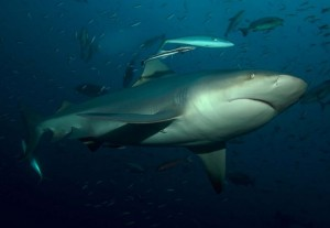 Bull Shark at bat island Costa Rica Gulf of Papagayo