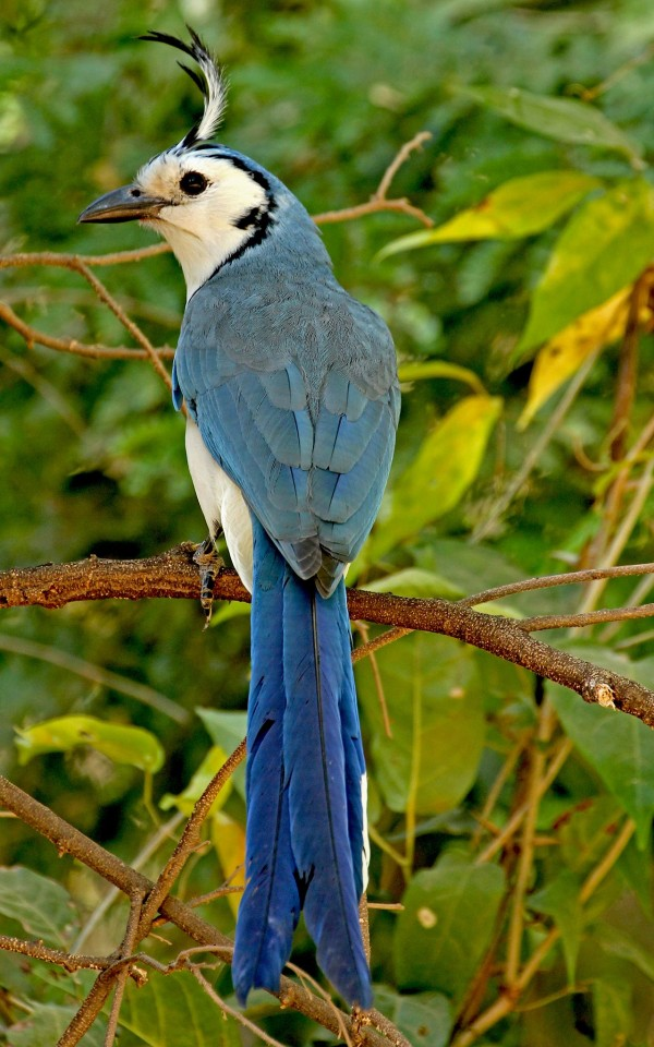 Costa Rica Magpie Jay