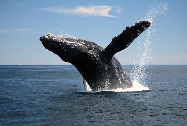 Whale Breaching Costa Rica