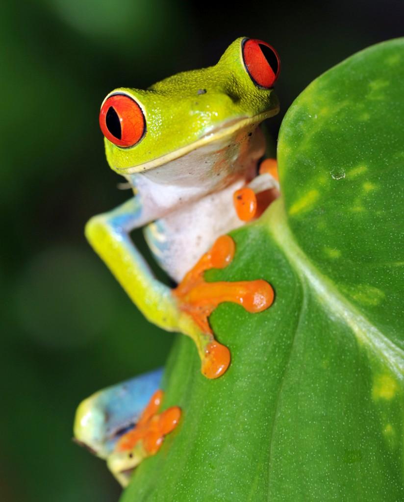tree frog costa rica