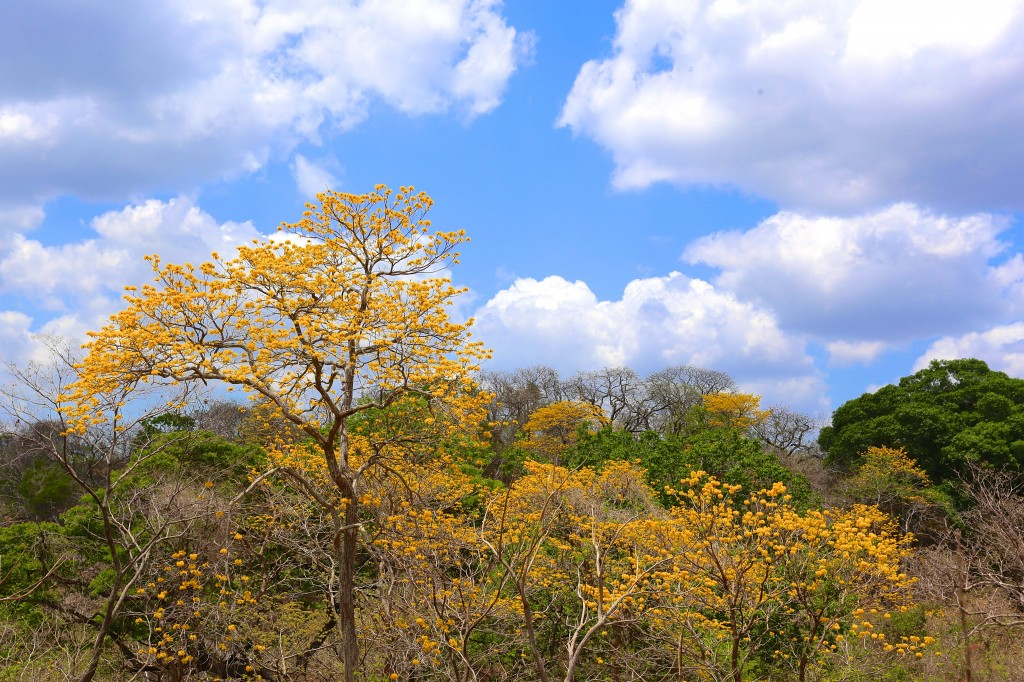 Best time of year to visit Guanacaste is when the trees bloom