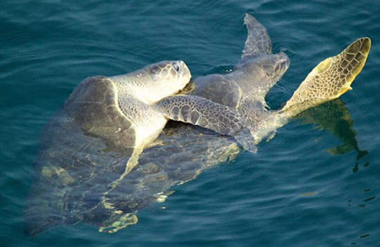 turtles-mating