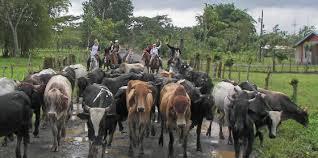 Cows crossing road