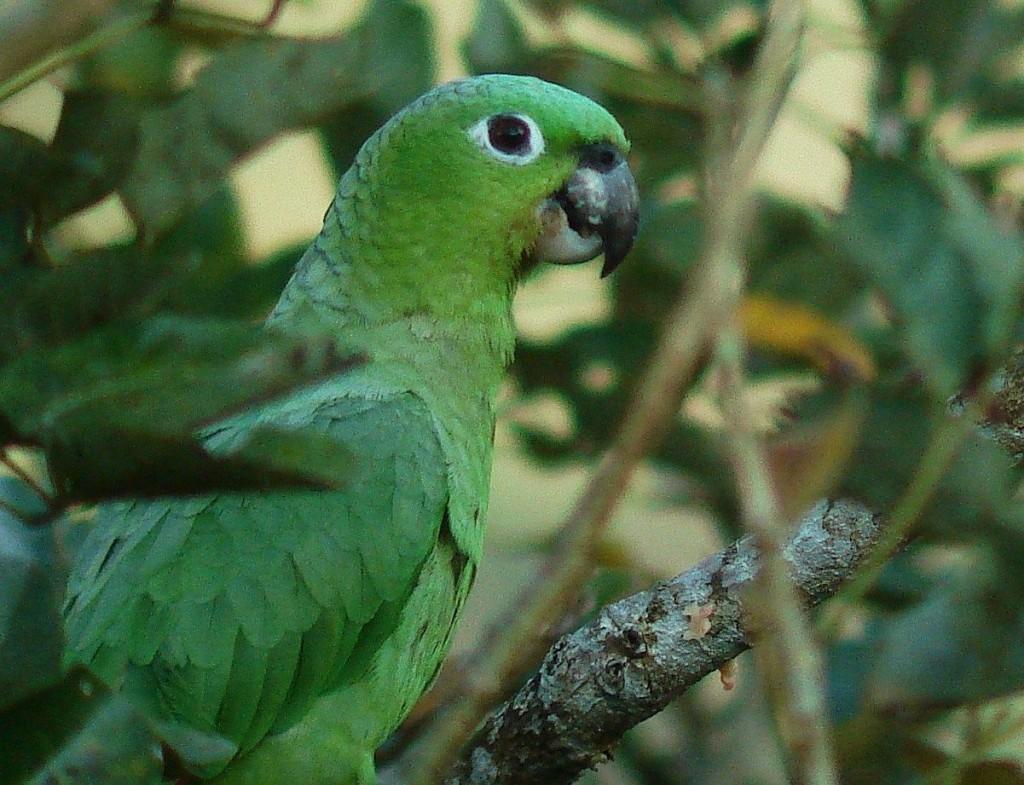Parrot Costa Rica