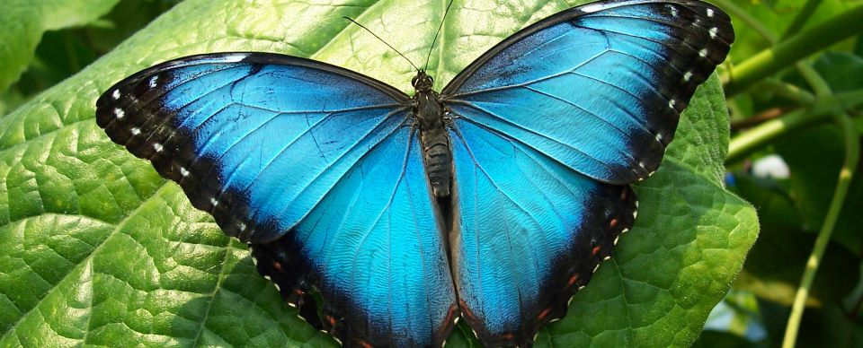 Costa Rica bugs include this morpho butterfly