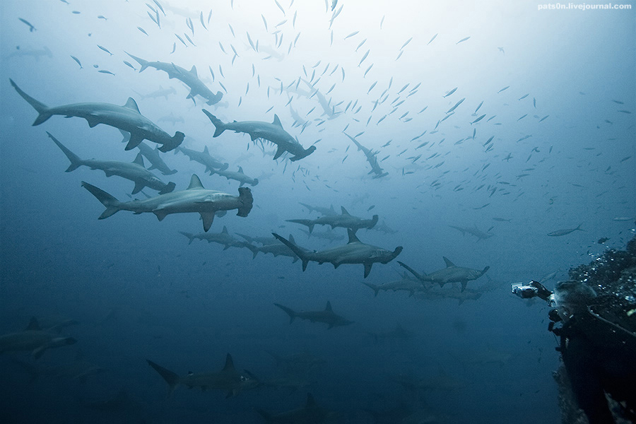 Cocos Island Hammerheads