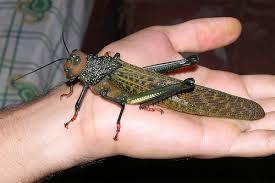 costa-rica-locust