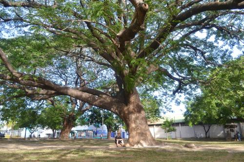 guanacaste-tree