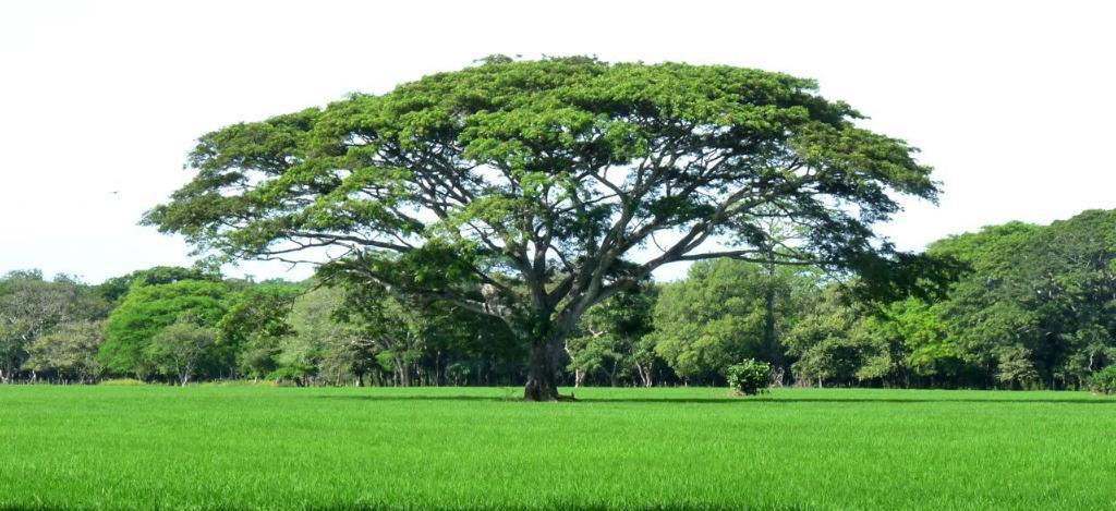 Guanacaste tree 76